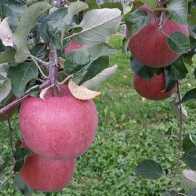 サンフジ りんご